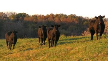 5-heifers